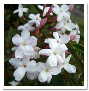 ياسمين الشام jasmine_flowers.jpg